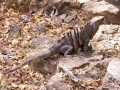 Leguaan in het gortdroge Santa Rosa Nationaal Park