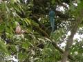 Een glimp van de zeldzame Quetzal in het nevelwoud van Monteverde