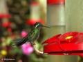 Kolibrie in de kolibrietuin van het nevelwoud van Monteverde