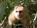 Capucijnaapje in Manuel Antonio Nationaal Park