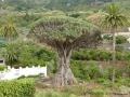 's Werelds oudst bekende drakenbloedboom El Drage Milenario in Icod de los Vinos