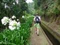 Ribeira da Janela: bloeiende Afrikaanse lelie's kleuren de route langs de Levada da Central da Ribeira da Janela