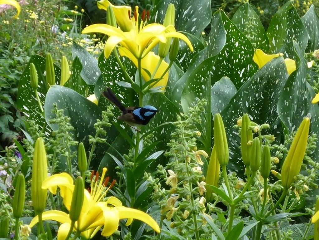 Een kleurrijke Superb Fairy Wren in de Botanische Tuin