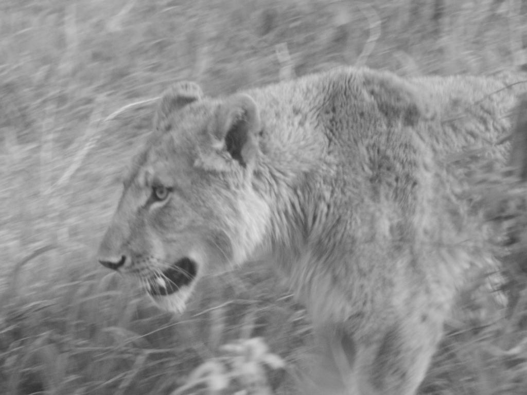 Hluhluwe Umfolozi - Dit is de enige leeuw die we zien in Zuid-Afrika