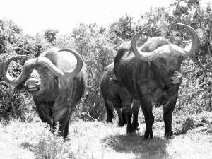 Buffels uit de bosjes in Addo Elephant NP. Hoe herken je een boze buffel?