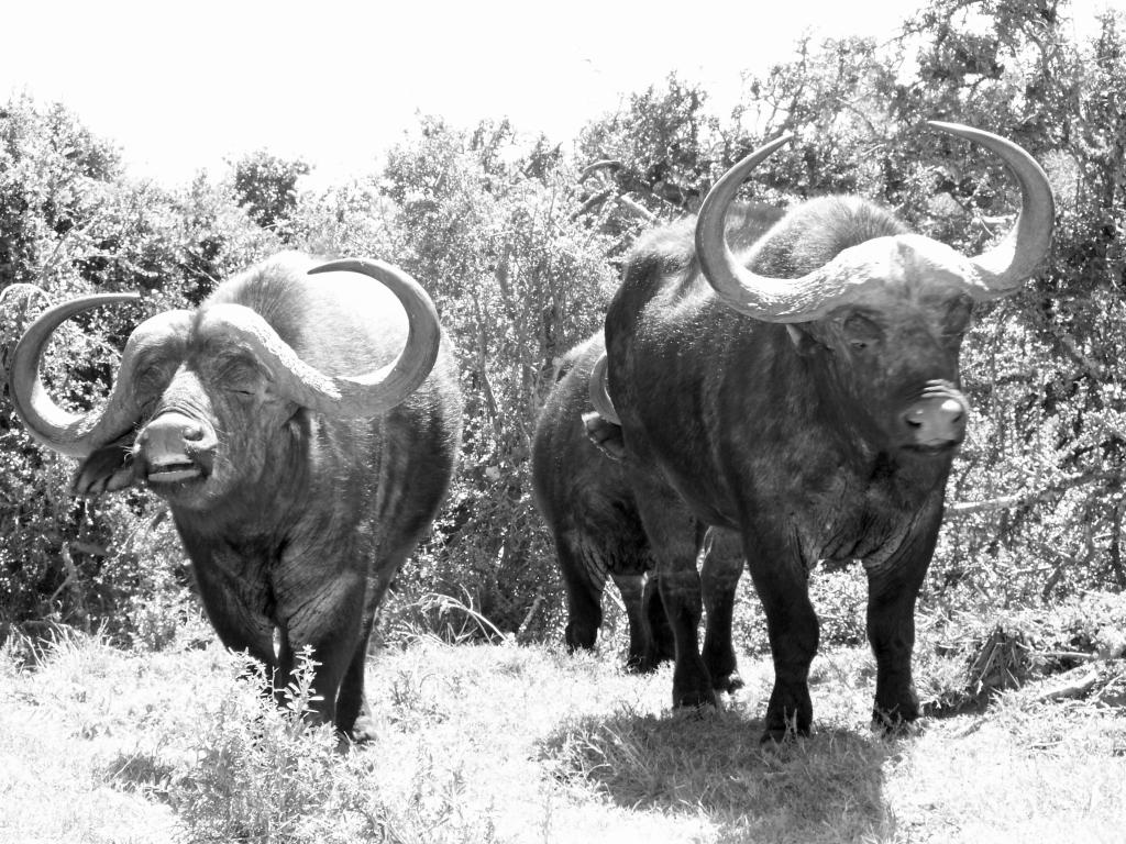 Addo Elephant NP - Hoe herken je eigenlijk een boze buffel?