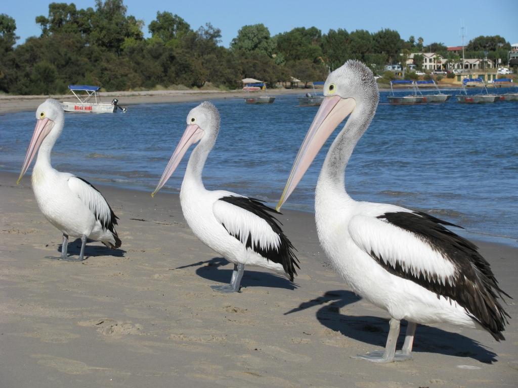 Kalbarri - Handtamme pelikanen wachten geduldig op voedertijd