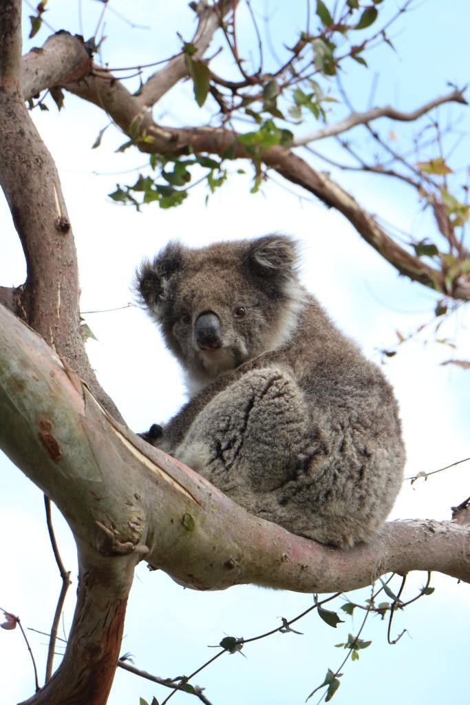 Great Ocean Road - Koala poseert geduldig voor hordes toeristen bij Cape Otway