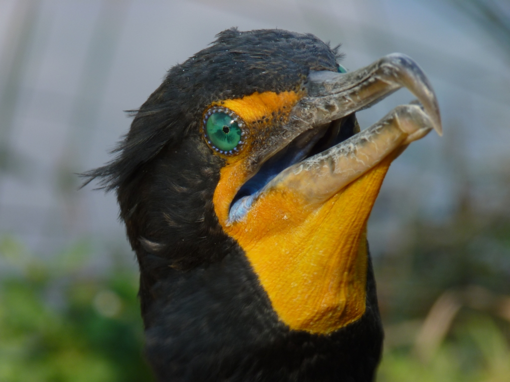 Everglades - Mooie en kleurrijke aalscholver kijkt ons onderzoekend aan