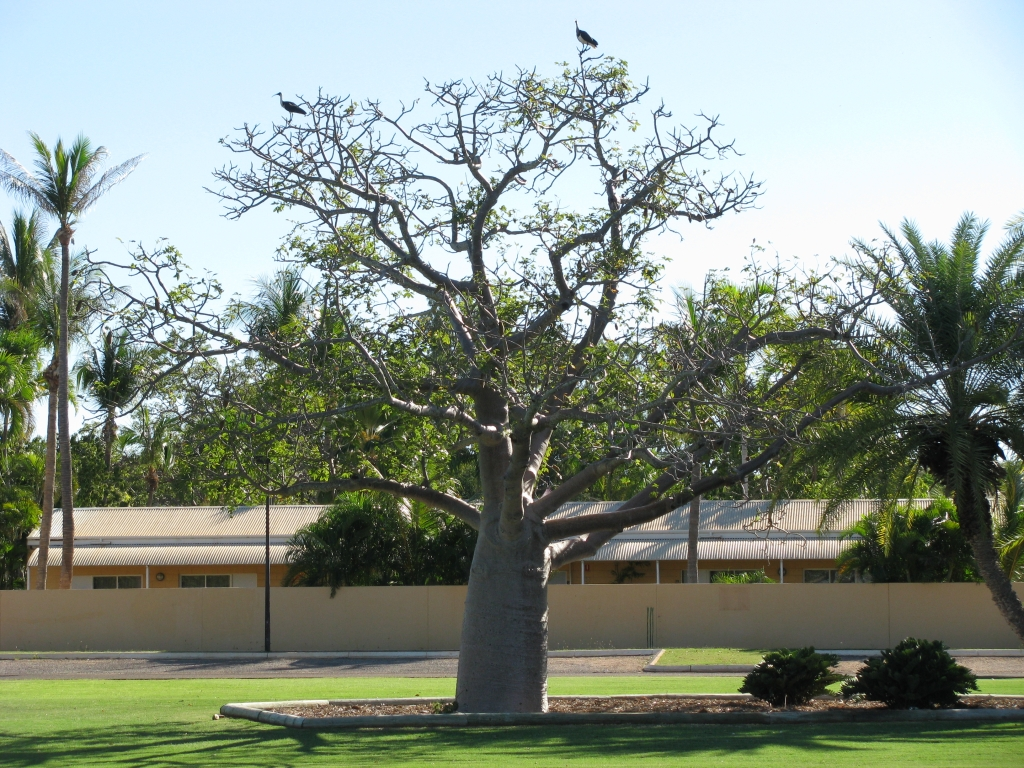 Broome - Boab boom in het Bedford Park