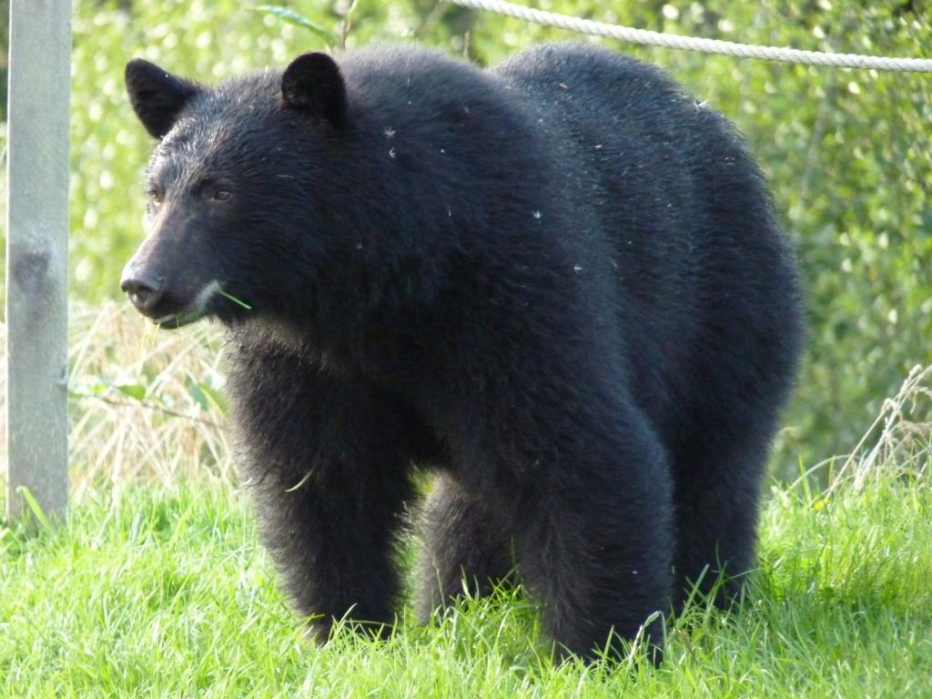 Telegraph Cove - Een (al dan niet) gevaarlijke zwarte beer