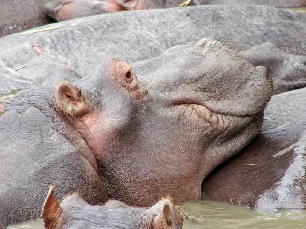 Nijlpaarden zijn passieve beesten, die vooral in groepen samengedrongen in het water staan.