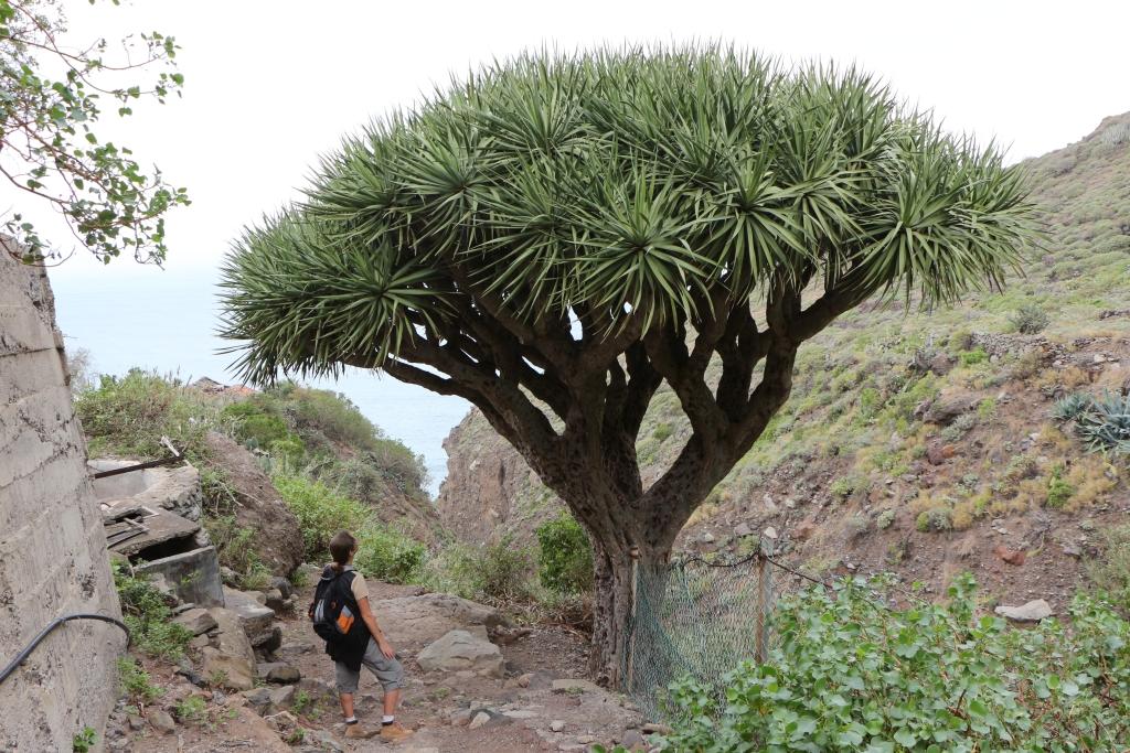 De drakeboom waaraan El Draguillo zijn naam te danken heeft