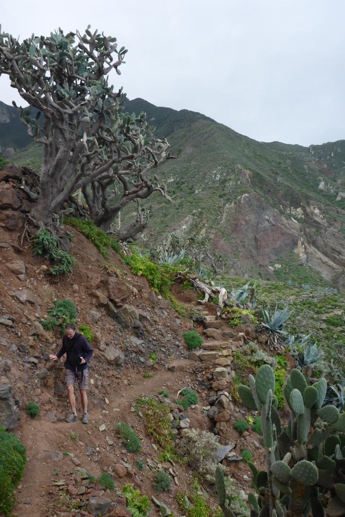 Enorme vijgcactussen langs de gevaarlijk steile helling bij Las Palmas