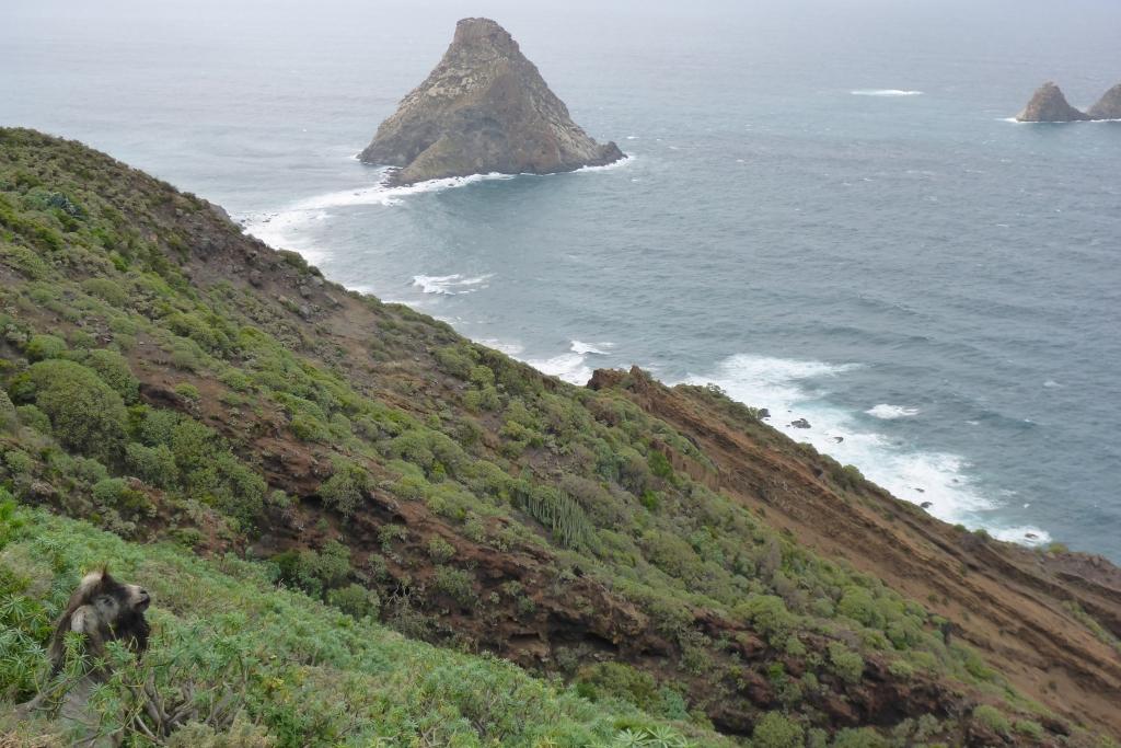 Wilde geiten stellen zich verdekt op tussen de struiken