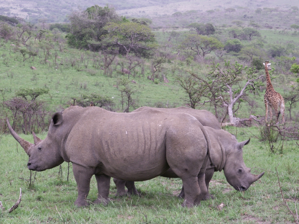 In het Hluhluwe deel van Hluhluwe Umfolozi Game Reserve staan alle dieren lekker compact bij elkaar.